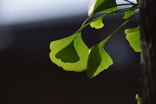 ginkgo-trees-1933941__340